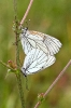 Glogov belac