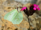 Danji leptir